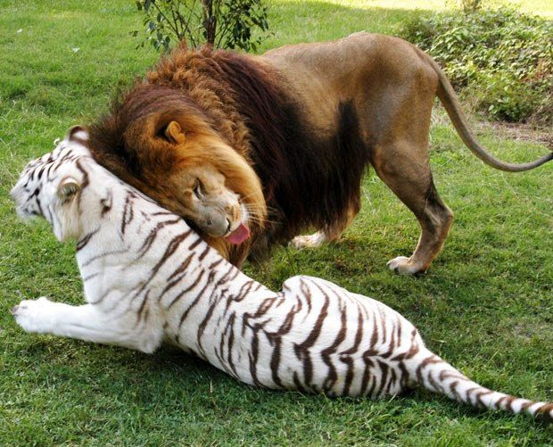 Loose Diamond : lion & tiger